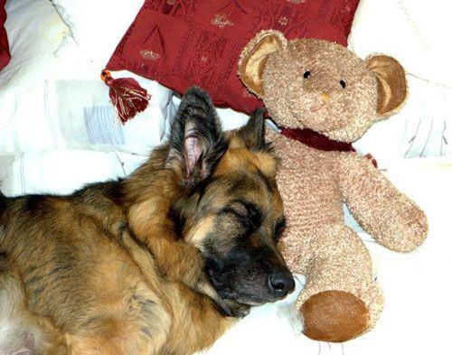 beautiful german shepherd photo toy pics nap