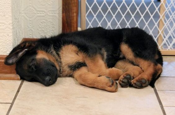 beautiful puppy german shepherd
