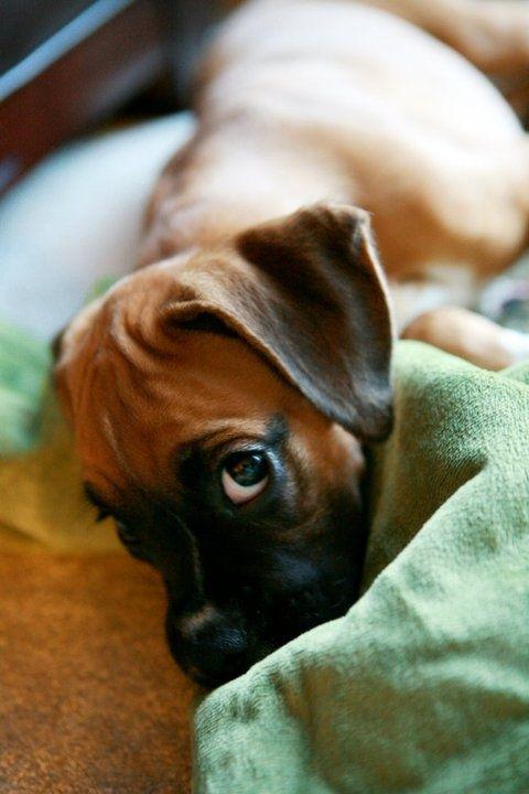 bed dog sleep eyes sleepy boxer