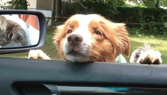 border collie car ride