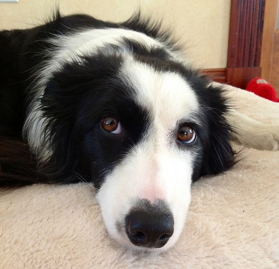 border collie eyes