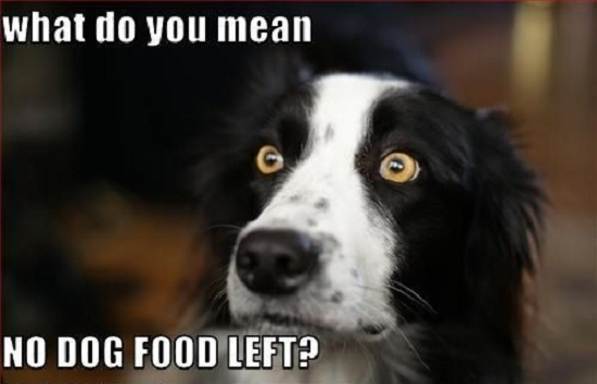 border collie hungry