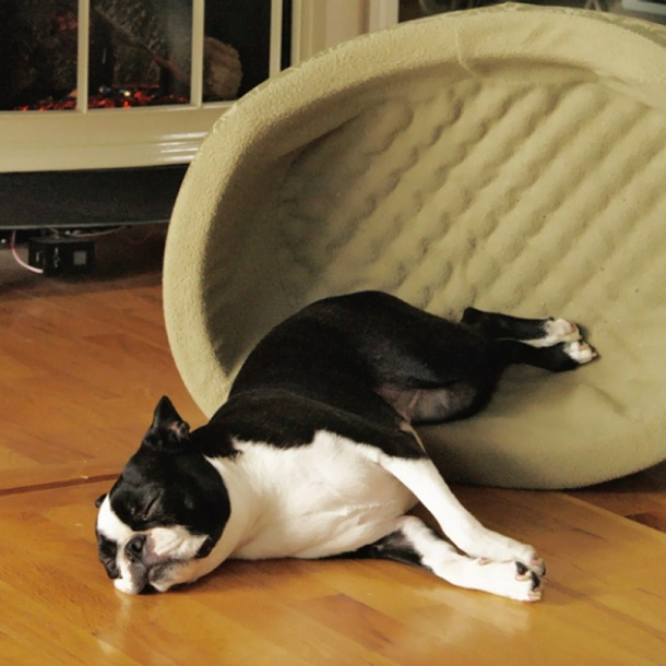 10 Hilarious Photos That Prove Boston Terriers Can Sleep
