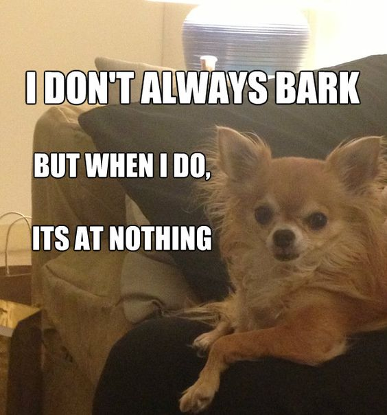 chihuahua bark meme 12 best chihuahua memes of all time