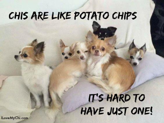 chihuahua meme pics cute