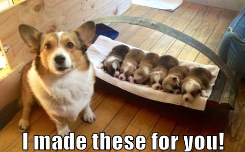 corgi meme puppies