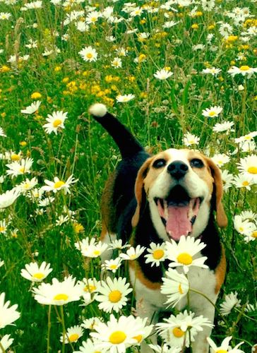 14 Things That Make Beagles Happy