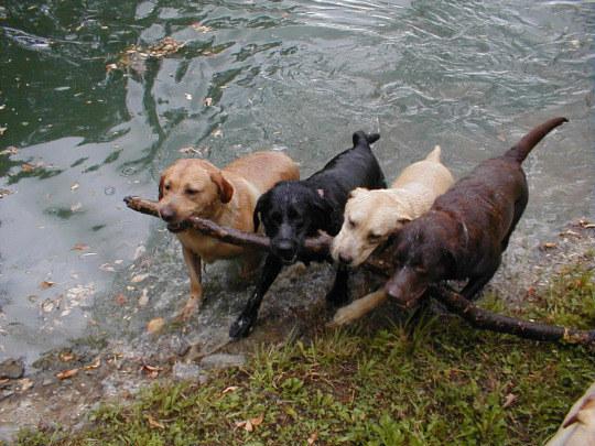 dogs teamwork