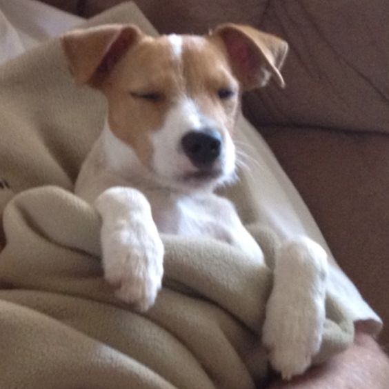 dreaming jack russell pics