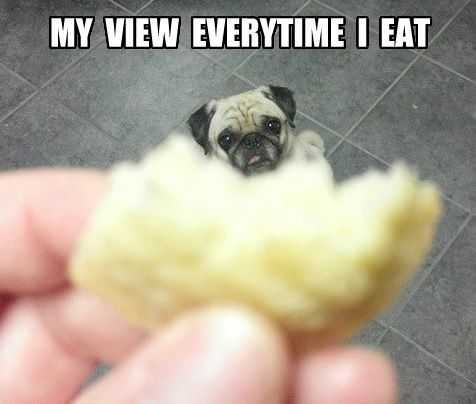 eating pug meme
