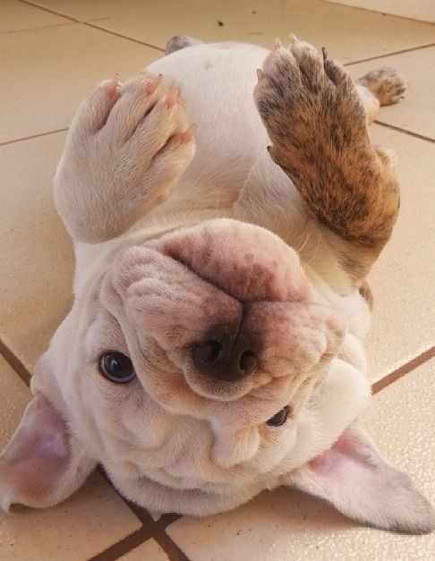 english bulldog belly rub