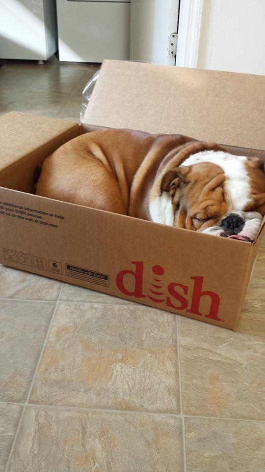 english bulldog sleeping in box