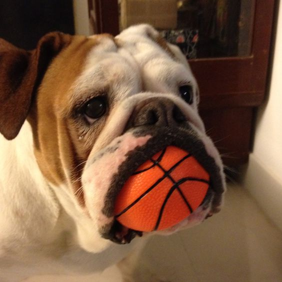 english bulldogs with ball