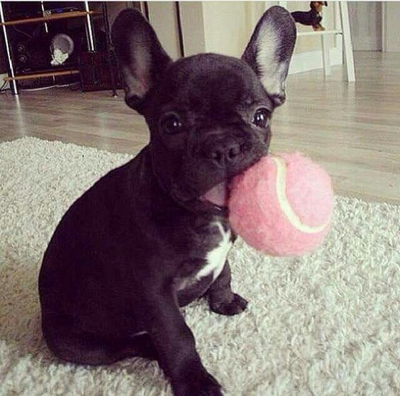 Your Ultimate Guide to the Different French Bulldog Types
