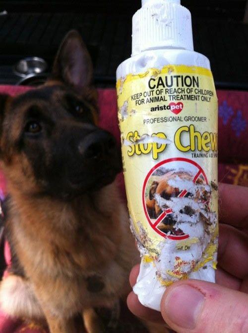 funny german shepherd chew pics