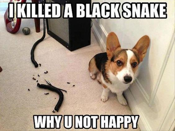 funny meme corgi dog