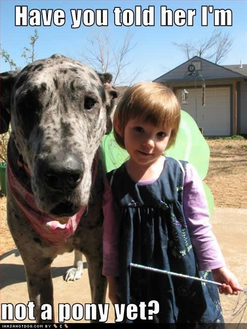 funny meme great dane pony girl