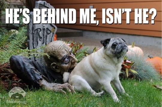 funny pug meme