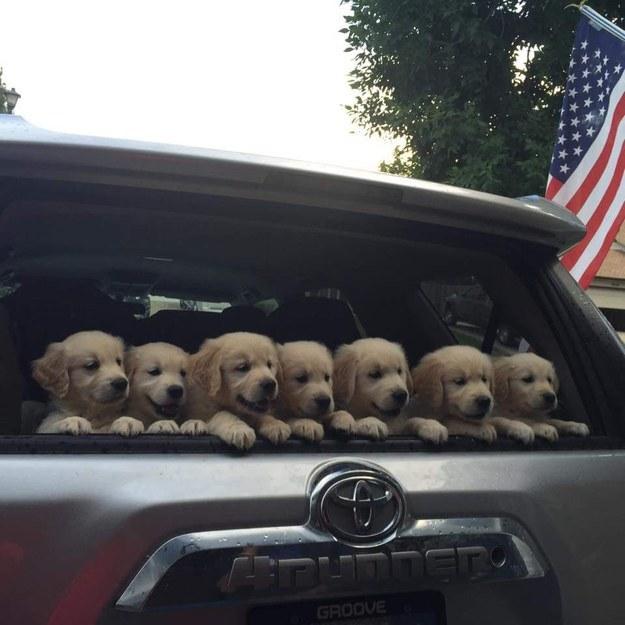 golden retriever puppies in car