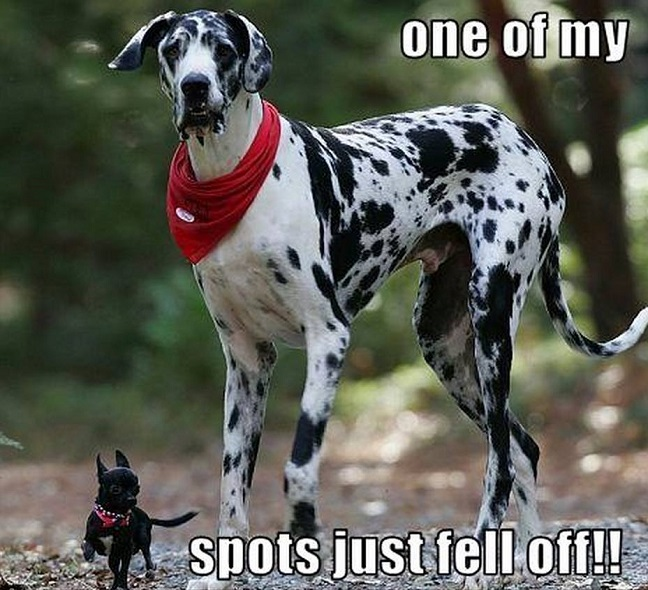 great dane meme pup dog
