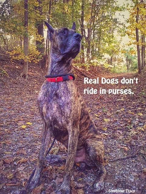 great dane meme