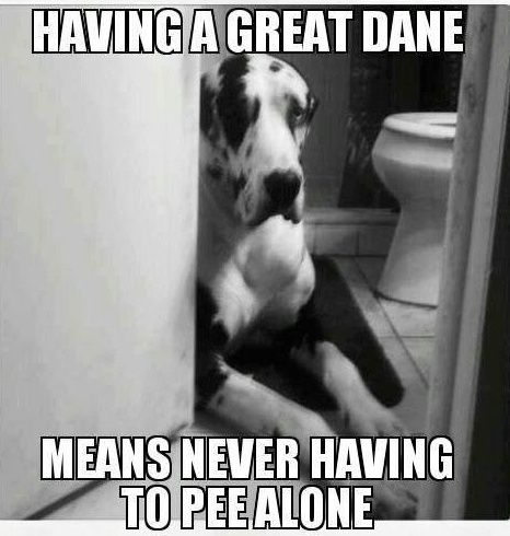 great dane pee funny dog