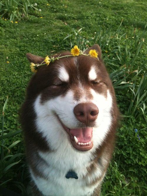 12 Things That Make Huskies Happy