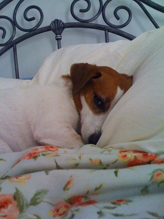 jack dog on bed pics