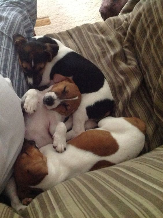 jack russells dogs pups nap time