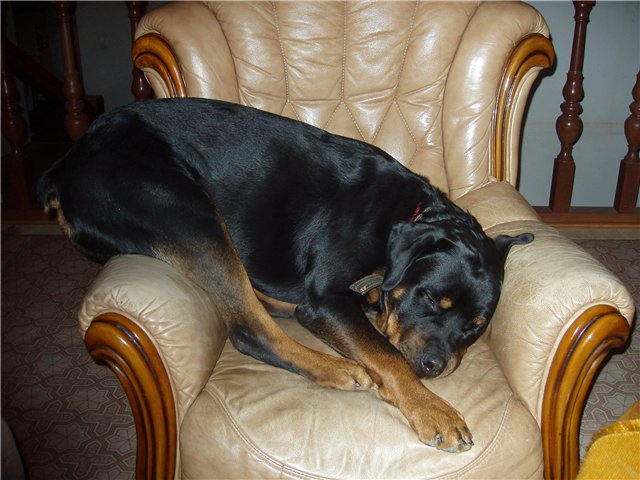 10 Hilarious Photos That Prove Rottweilers Can Sleep