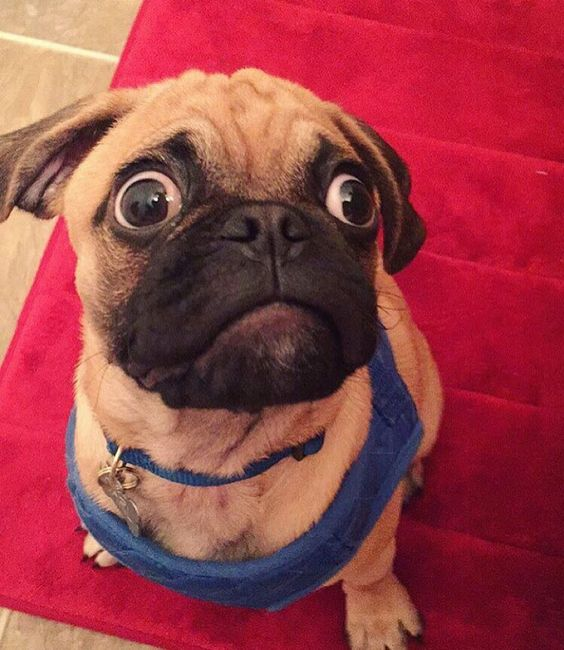 pug face surprise