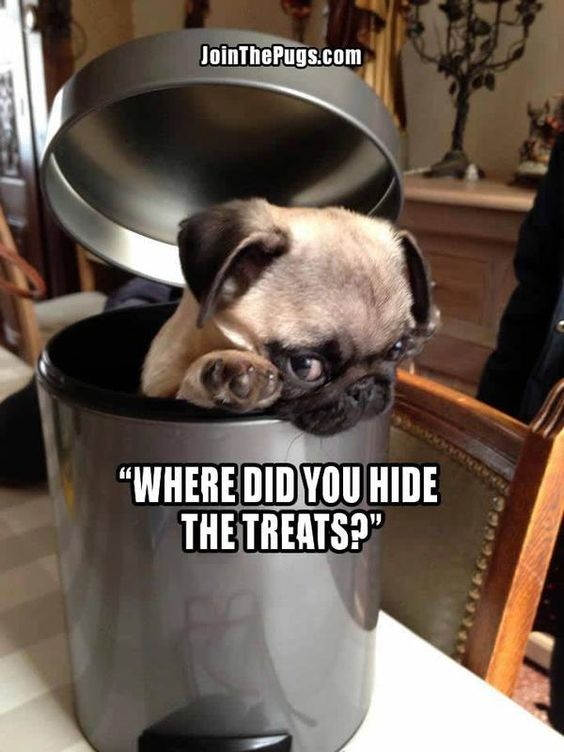 pug treat meme dog