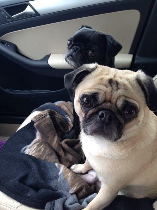 pugs in car