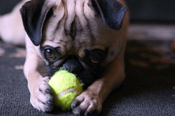 pugs with ball