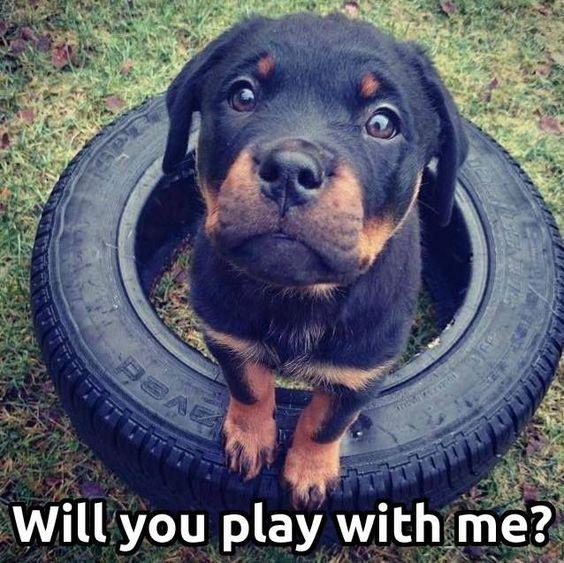 puppy rottweiler meme