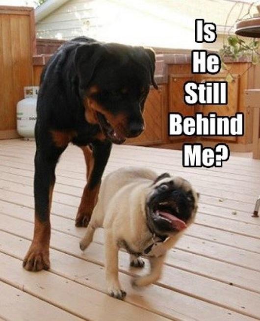 rottweiler and pug meme