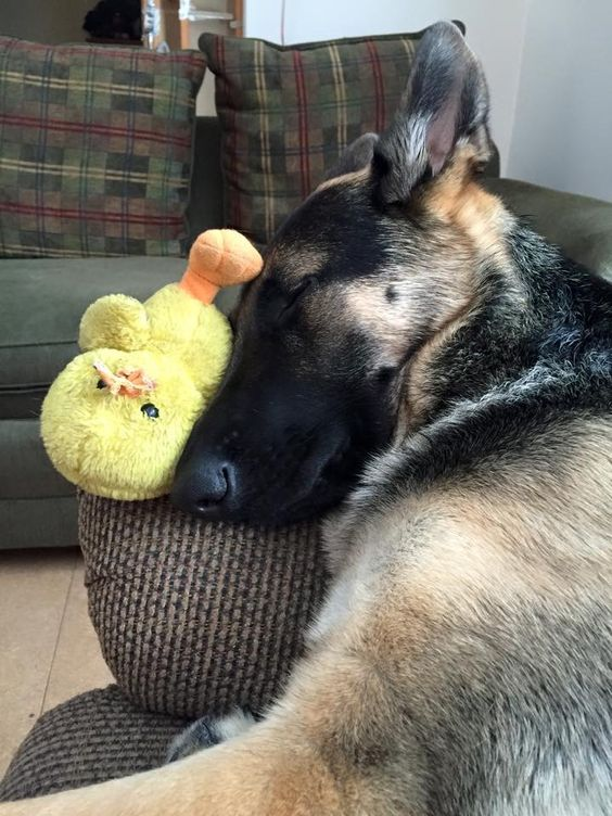 sleep german shepherd photo toy duck