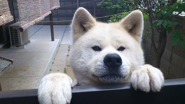Akita-Inu-face
