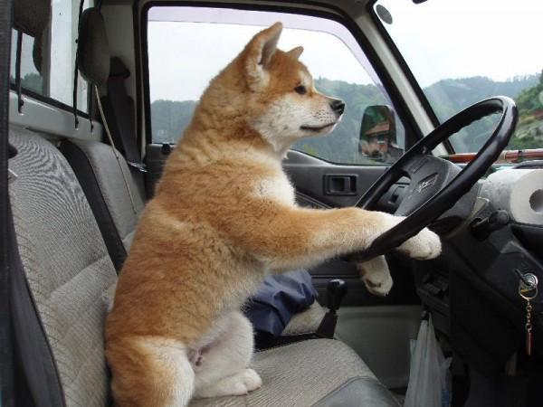 akita inu driving car