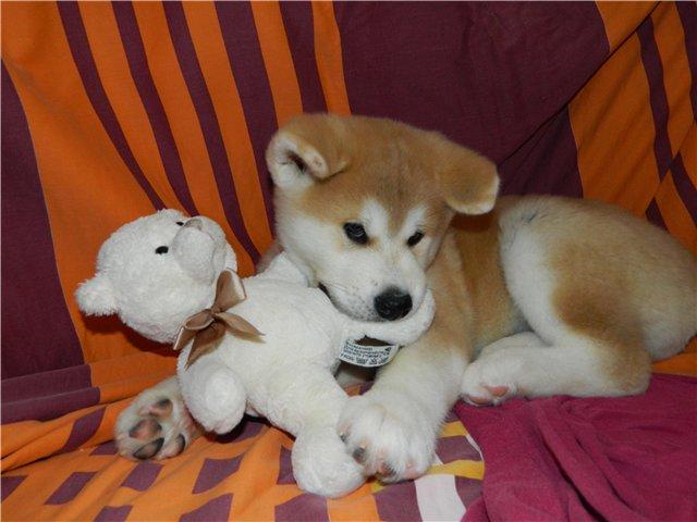 akita playing toy