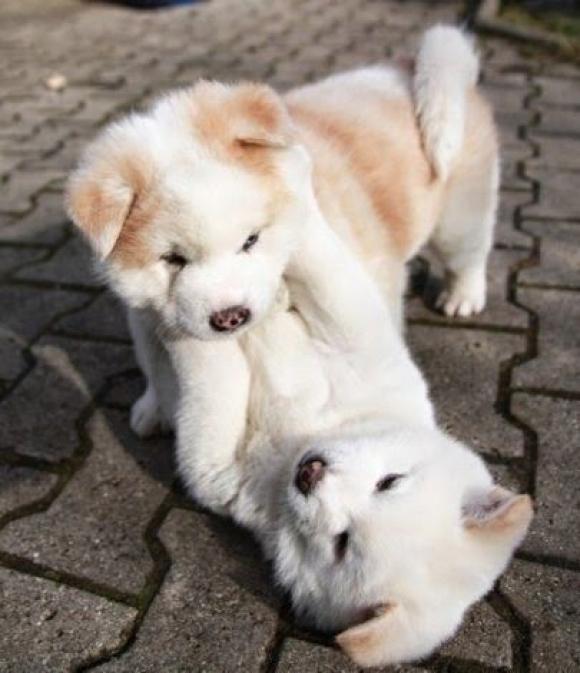 akitas puppies playing