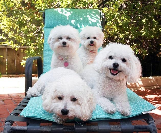 amazing bichon frises dogs