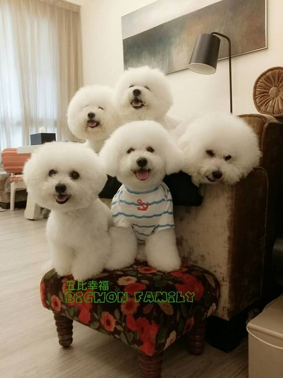 12 Reasons Why You Should Never Own Bichon Frises