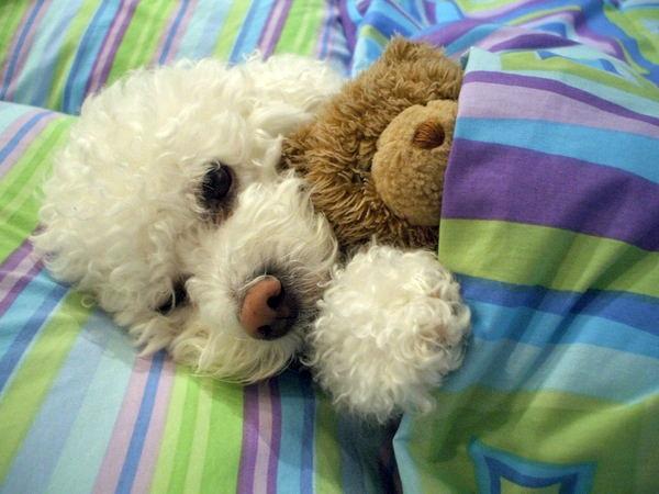 bichon frise sleep bed
