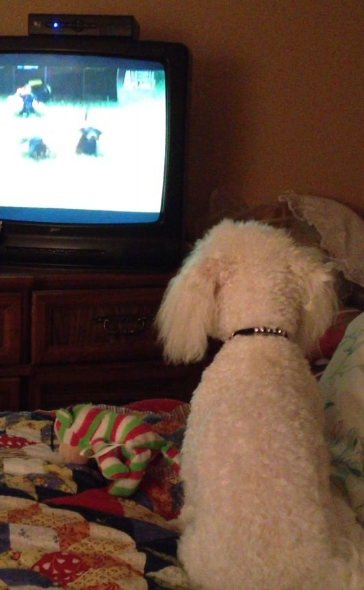 bichon frise watching TV