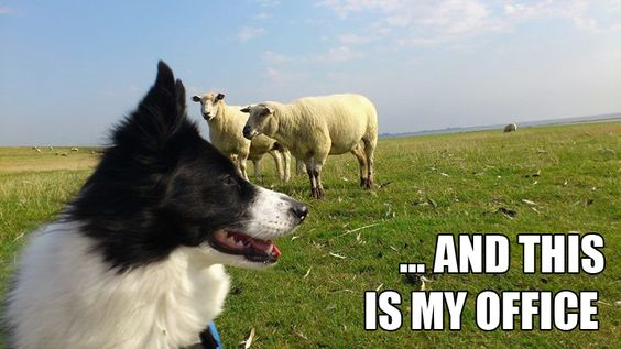 10 best border collie memes of all time