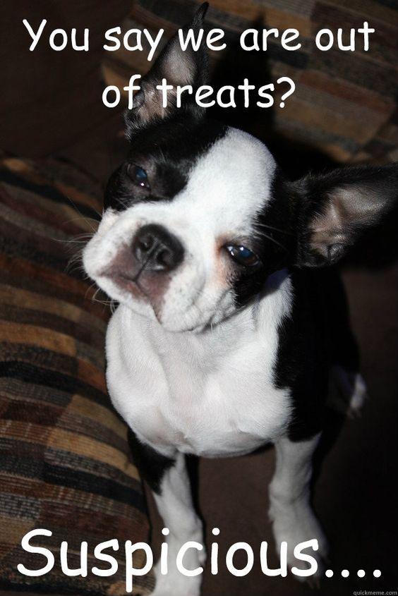 boston terrier treats meme
