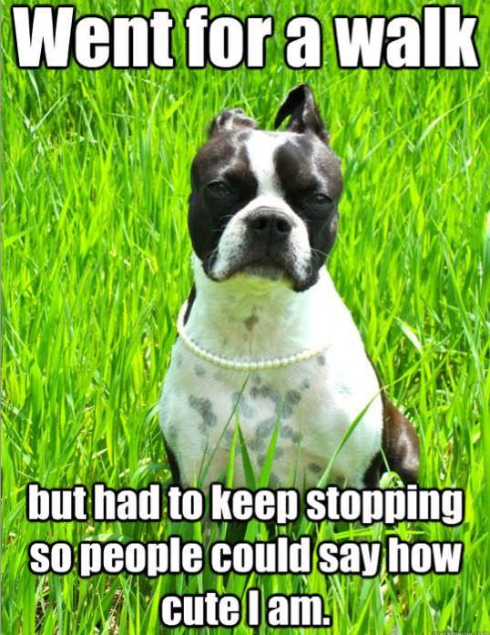 boston terrier walk meme photo
