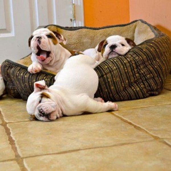 bulldog puppies sleep time
