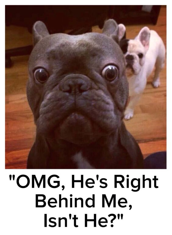 french bulldog meme
